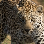 Photographing Leopards