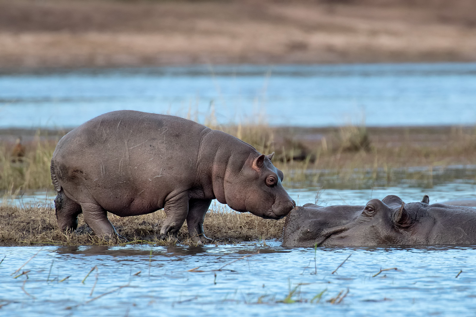 A tender moment with baby hippo and mother - photo take from Photo Boat