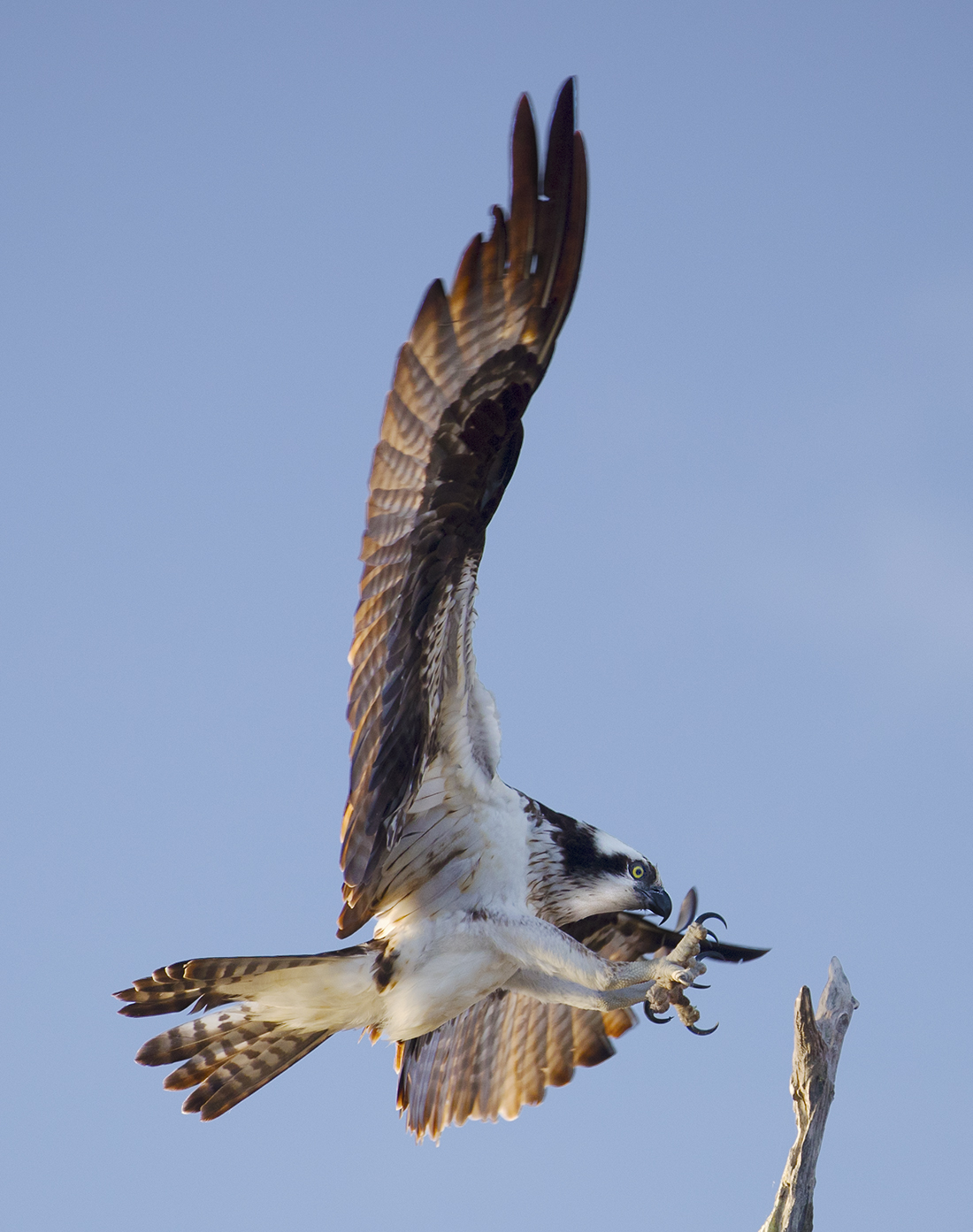 April 2018 – Central Florida Osprey & Spoonbill Photo Safari & Expedition