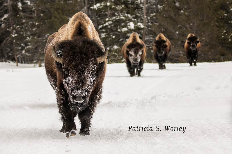 Four bison are coming head on toward the photographer in Yellowstone National Park.