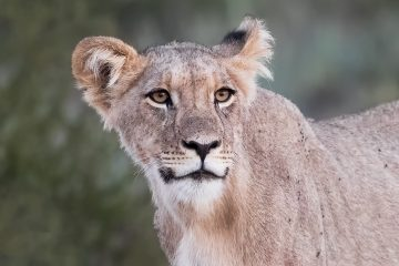 April/May 2021 – Big Cats of the Mara