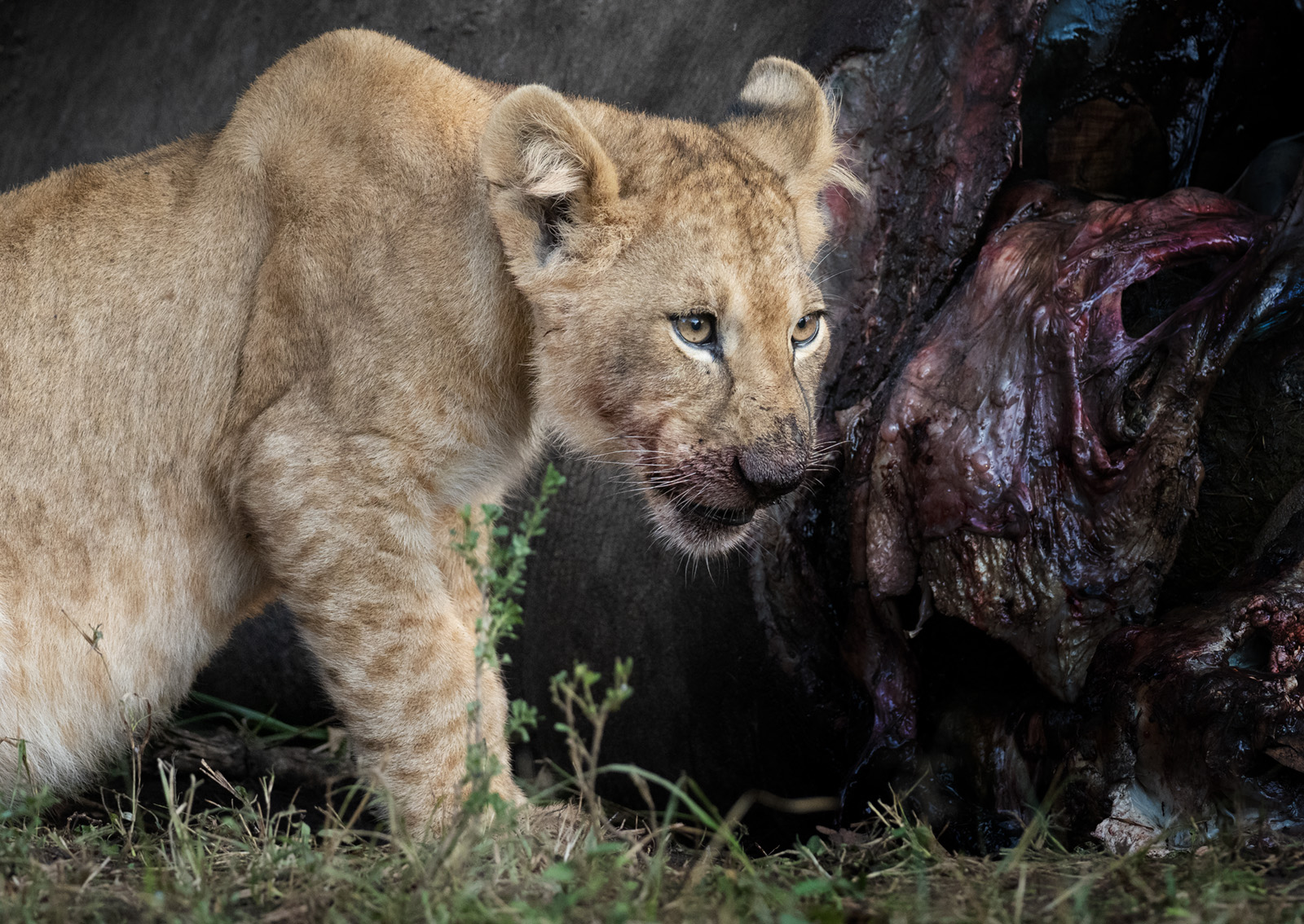 POSTPONED – 2020 Masai Mara Big Cats Safari